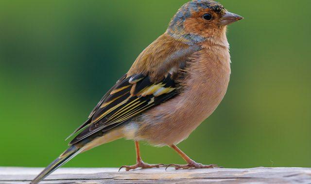 """Die Vögel des Biotopverbundes """"Am Tannenbaum"""""""